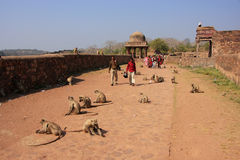 Local people walking around Ranthambore Fort amongst gray langur Royalty Free Stock Images