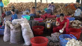 Local people working in coconut processing plant, Mekong Delta, Vietnam, South East Asia stock video footage
