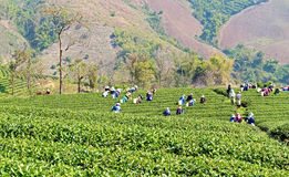 Local people working on tea field harvesting Royalty Free Stock Image