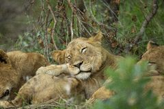 Sleeping lion pride. A Local pride of lions sleeping in their typical close contact manner as seen in social cats stock photography