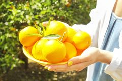 Local produce orange tree farm garden sunlight. Harvesting, fruit hand picking, female farmer hipster. Perfect oranges on branch. royalty free stock image