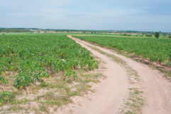 Local road in cassava field Stock Photo