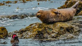 Local seals with an attitude. Local South Bay seals with an attitude royalty free stock images