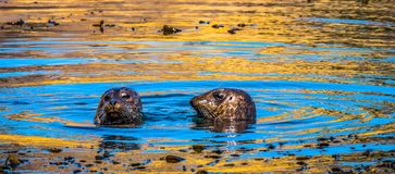 Local seals with an attitude. Local South Bay seals with an attitude royalty free stock photos