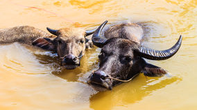 Local Thai Buffaloes are in Swamp. Local Thai Buffaloes are Taking a bath in Swamp Stock Photo