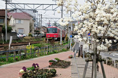 Local train passing through japanese town. View of rail track, old railroad track embedded in pedestrian way, magnolia tree in bloom Royalty Free Stock Photo
