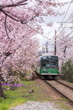 A local train running pass cherry blossom trees in Kyoto, Japan. Randen is the only tram in Kyoto. Running between Arashiyama station to Shijo-Omiya and Kitano Royalty Free Stock Photos