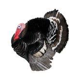 Local turkey