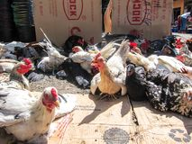 Chickens on death row, awaiting purchase for food in rural asia, Flores, Indonesia Stock Photos