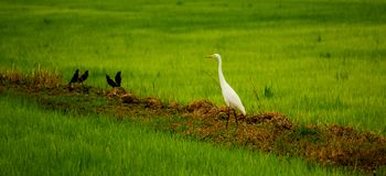 Local white bird, Great egret and mynas bird walking around organic rice field in countryside. Local white bird, Great Egret and mynas birds living in organic stock images