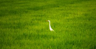 Local White Bird, Great Egret Walking Around In Organic Rice Field And Watching For Food, Little Insects And Shell. Royalty Free Stock Photo