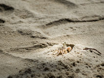 "Local white crab on beach. ""Pulom"" or .Ghost crab. is local crab in Thailand Stock Photography"