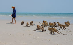 Local wild monkeys  play Hua Hin Beach Thailand. Royalty Free Stock Photography