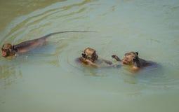 Local wild monkeys swim and play Hua Hin Beach. Royalty Free Stock Photography