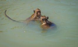 Local wild monkeys swim and play Hua Hin Beach. Royalty Free Stock Photos