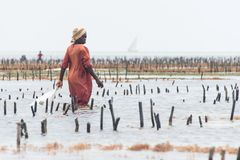 Local woman harvesting cultivated seaweed, Zanzibar Royalty Free Stock Images