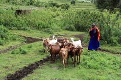 Local woman with her goats stock images