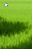 Local woman walking through rice paddy Royalty Free Stock Photos