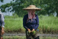 Local woman working in the farmland during monsoon  from Chitwan Nepal