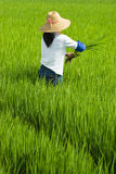 Local woman working in rice paddy Stock Images