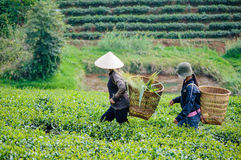 Local women carry basket on the tea field Stock Photo