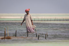 Sea weed harvest at risk due to water temperature rising Stock Photo