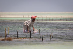 Sea weed harvest at risk due to water temperature rising Stock Image