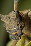 Localice la vista de la cara Largo-de cuernos del escarabajo Fotografía de archivo