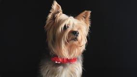 Localización de Yorkshire Terrier y mirada de la cámara almacen de video