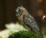 Localización del búho de orejas alargadas en el tocón en el bosque - otus del otus del Asio Foto de archivo libre de regalías
