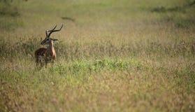 Localización del impala para los guepardos Fotos de archivo