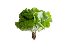 Locally grown organic butter crunch lettuce Royalty Free Stock Images