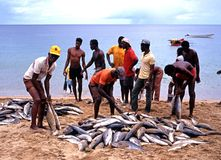 Locals sorting fish on the beach, Tobago. Stock Image