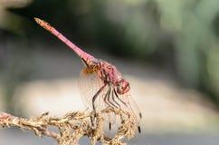 Locanda I della libellula Fotografie Stock Libere da Diritti