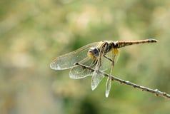 Locanda V della libellula Fotografia Stock
