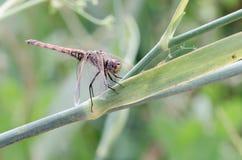 Locanda VI della libellula Fotografia Stock