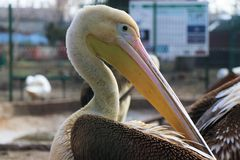 Magnificent pelicans, with their long beak. royalty free stock photo