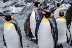Penguins at Asahiyama Zoo. Royalty Free Stock Photography