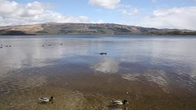 Loch Lomond Scotland UK The Trossachs National Park on a calm day with ducks and mountains popular Scottish tourist destination pa. Loch Lomond Scotland UK The stock footage