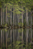 Loch Mallachie tall Pines. Loch Mallachie tall Pines in the Cairngorms National Park of Scotland Royalty Free Stock Photography