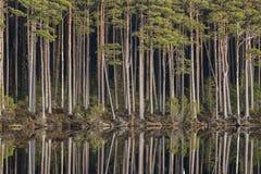 Loch Mallachie tall Pines in Scotland. Loch Mallachie tall pines at Abernethy forest in Scotland stock photos