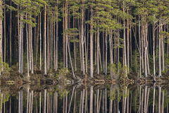 Loch Mallachie tall Pines in Scotland. Loch Mallachie tall Pines in the Cairngorms national park of Scotland royalty free stock photos