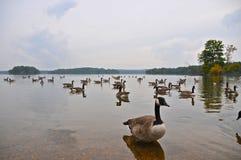 Loch van eenden @ de Dam van de Raaf Stock Foto's