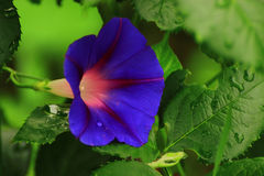 Loche bleue lumineuse de fleur Photo stock