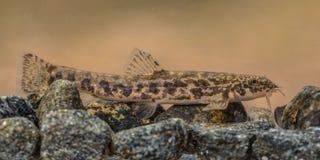 Loche en pierre sur le fond de rivière rocheux Images libres de droits