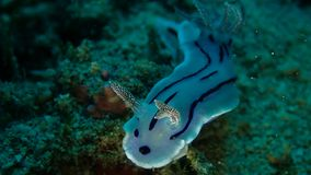 Lochi Nudibranch de Chromodoric dans Anilao Philippines photos libres de droits