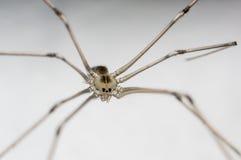 Lochu pająk Zdjęcie Royalty Free