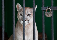 Locked. A sad puma locked in a zoo cage Royalty Free Stock Photography