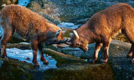 Locked horns. Two young Alpine Ibex lock horns Royalty Free Stock Photos