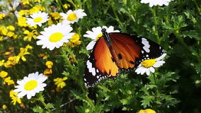 Locked-on shot of a butterfly perching on white flower, Agra, Uttar Pradesh, India stock footage